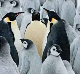 pinguini-imperatore